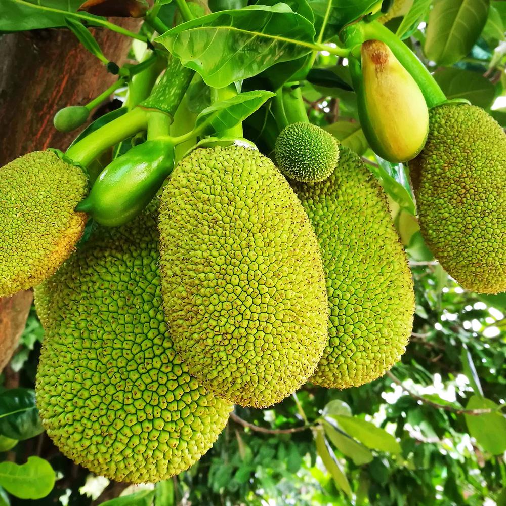 Jackfrucht 500 g