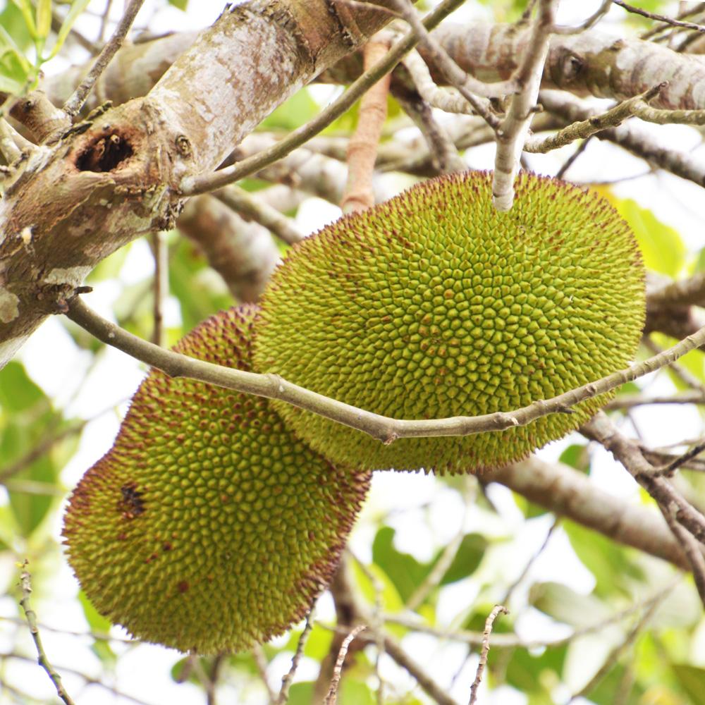 Zwei Jackfruits am Baum