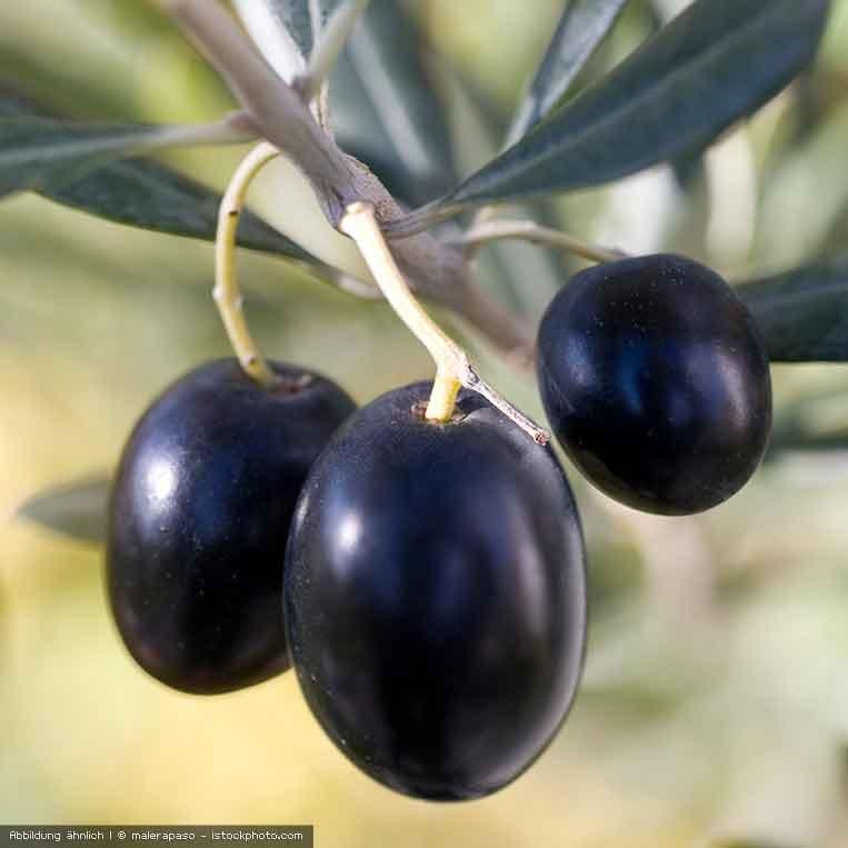 reife Oliven am Zweig
