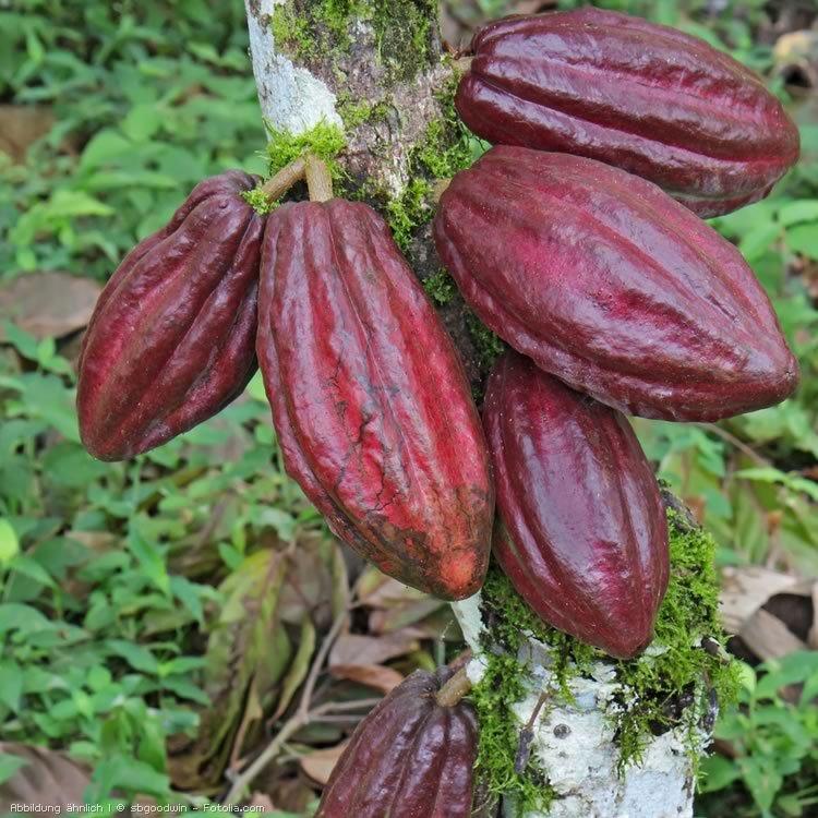 Kakaofruechte